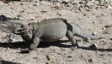 Rhinoceros Iguana - Cyclura cornuta (captive)