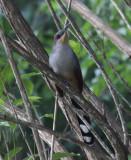 Hispaniolan Lizard-Cuckoo - Coccyzus longirostris