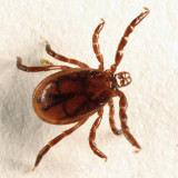 Blacklegged Tick - Ixodes scapularis  (male)