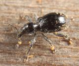 Myrmex laevicollis