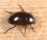 Tropisternus sp.