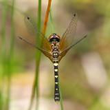 Elfin Skimmer  - Nannothemis bella (female)