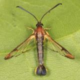 2596 - Eupatorium Borer - Carmenta bassiformis