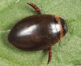Graphoderus fascicollis