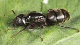 Camponotus pennsylvanicus (queen)