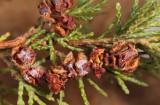 Atlantic White Cedar - Chamaecyparis thyoides