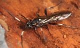 Orgichneumon calcatorius (Female)