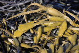 Knotted Kelp - Ascophyllum nodosum