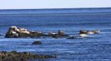 Harbor seals - Phoca vitulina
