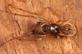 Pachygnatha brevis (male)