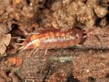 Trichoniscus sp.