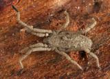 Harvestmen - Trogulidae