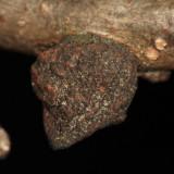 white oak gall