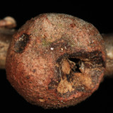 Round bullet gall - Disholcaspis quercusglobulus