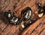 Camponotus sp. (hibernating queen)