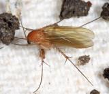 Mycetophila sp.