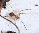 Pirate Spider - Mimetus notius