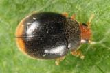 Scymnus americanus group