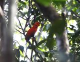 Guianan Cock-of-the Rock - Rupicola rupicola