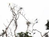 Blue-and-Gold Macaw - Ara ararauna