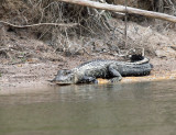 Guyana Reptiles