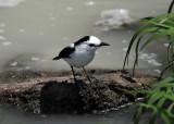 Pied Water Tyrant - Fluvicola pica