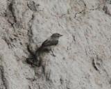 Drab Water-Tyrant - Ochthornis littoralis