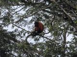 Guyanan Red Howler Monkey - Alouatta macconnelli