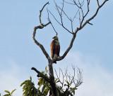 Black-collared Hawk - Busarellus nigricollis