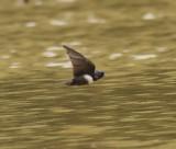 White-banded Swallow - Atticora fasciata
