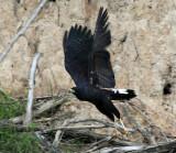 Great Black Hawk - Buteogallus urubitinga