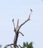 Red-fan Parrot (Hawk-headed) - Deroptyus accipitrinus
