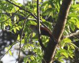 Squirell Cuckoo - Piaya cayana