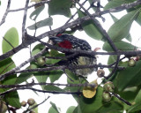 Black-spotted Barbet - Capito niger