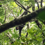Black Spider Monkey - Ateles paniscus
