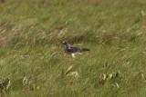 White-tailed Hawk - Buteo albicaudatus