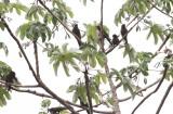 Painted Parakeet - Pyrrhura picta