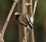White-bellied Piculet - Picumnus spilogaster
