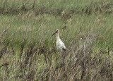 Maguari Stork - Ciconia maguari
