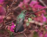 Glittering-throated Emerald - Amazilia fimbriata