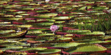 Victoria Regia Lily  - Victoria amazonica