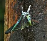 Green-banded Urania - Urania leilus