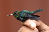 Fork-tailed Woodnymph - Thalurania furcata