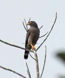 Roadside Hawk - Buteo magnirostris