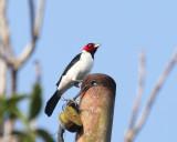 Red-capped Cardinal - Paroaria gularis