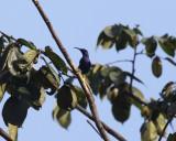 Purple Honeycreeper - Cyanerpes caeruleus