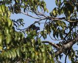Blue-headed Parrot - Pionus menstruus