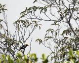 Burnished-buff Tanager - Tangara cayana