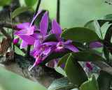 Orchid - Rewa