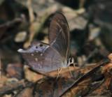 Pierella hyalinus extincta